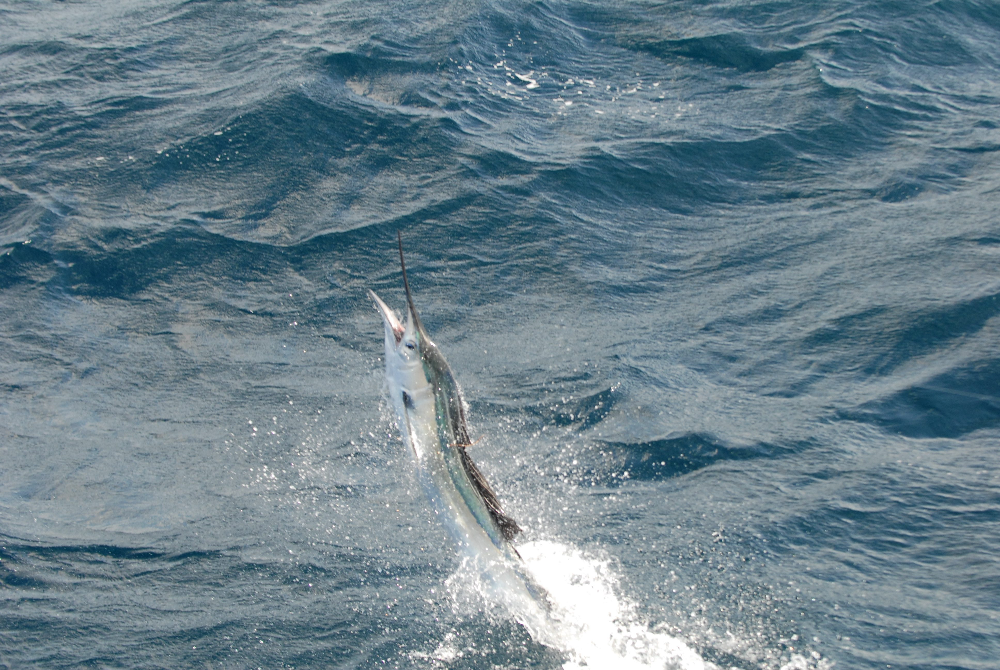 Ocean City Maryland Marlin Fishing Pictures - Group ...