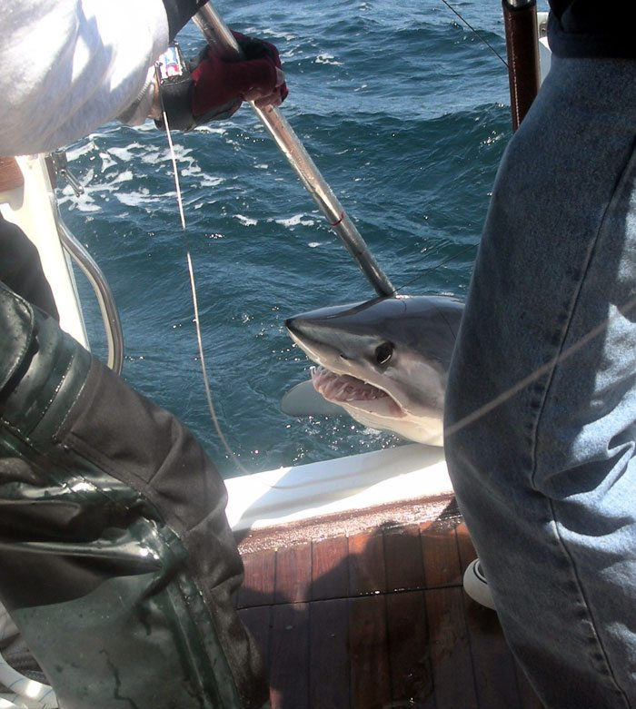 Ocean city maryland shark fishing pictures group fishing for Ocean city fishing charters